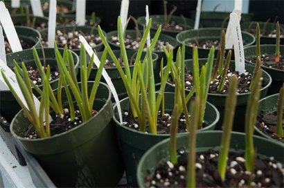 Forced spring bulbs unfold gradually when brought into the warmth of your home