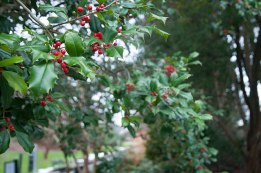 An American Holly has wonderful red berries all winter