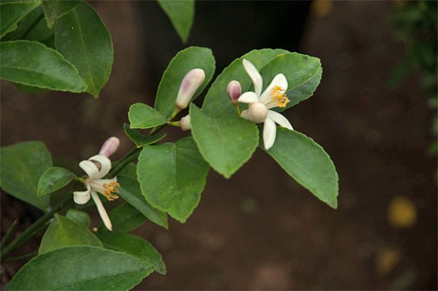 Meyer Lemon trees produce sweet fragrant flowers in Winter- under the blossom is the tiny fruit that forms into a larger lemon--Citrus like an acid fertilizer along with a sunny location--repot in the summer as lemon trees can become quite large