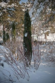 A singular sensation - a tall upright evergreen makes a dramatic statement in the winter landscape