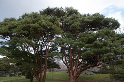 A mature grouping of Tanyosho Pine at the New York Botanical Garden