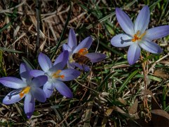 "Crocus tommasinianus, the ""tommie"" crocus, blooms very early and will multiply madly"