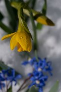"Dwarf daffodils and Chionodoxa called ""Glory of the snow"" are a perfect combination for late March"