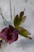 Hellebores bloom right thru snow cover and continue blooming for another 6 weeks