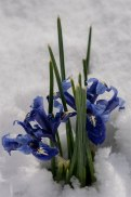 Iris reticulata comes right through snow to add a cheerful note in March