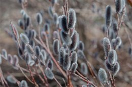 Salix 'Mt Azo', Japanese pink pussy willow, great for flower arranging