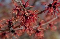 Witch Hazel 'Ruby Glow' gives off a brilliant shimmer of ruby-red wispy flowers, making it an unexpected feature in the late winter landscape