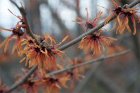 Witch hazel 'Jelena' - every garden should have at least one witch hazel, they are the first to bloom