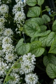 Brunnera and Iberis--Forget-me-nots and candytuft--a perfect duet for the early spring garden
