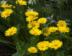 Doronicum--Bright yellow daisies that are wonderful with anything blue