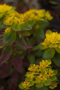 Euphorbia polychroma--soft buttery flowers that transforms to a deep burgundy--lovely with Spring bulbs