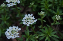 Iberis sempervirens--Candytuft--an old standby for early spring --fully white cascading flowers--makes lovely clumps in the garden