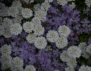 Iberis and Phlox subulata--perfect combination for the rock garden