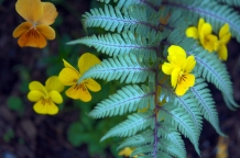 Japanese painted fern with sorbet yellow violas--planted under an apple tree