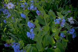 Mertensia virginica--Virginia bluebell's--sky blue delicate flowers that fill the early spring garden with vivid color--especially nice with yellow daffodils
