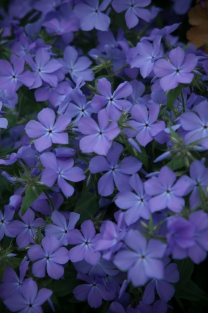 Phlox divaricata--Sweet smelling wild phlox --very reliable every year