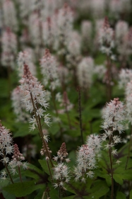 Tiarella cordifolia--Foamflower--lovely, delicate long blooming native plant--spreads nicely in the shady garden