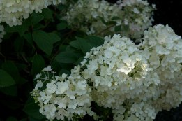 Hydrangea paniculata 'Bobo' — creamy white flowers, great for cutting as they will rebloom. Low growing too!