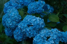 The Classic 'Nikko Blue' — once established it will be a vital anchor in your garden.