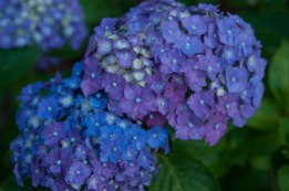 Adding aluminum sulfate has allowed this hydrangea to take on several hues of blue and purple.