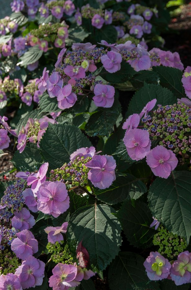 Hydrangea 'Tuff Stuff' —A low growing delightful pink lace cap, great for the front of the border