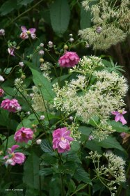 Pink Anemone japonica intertwine with white billowy Joe Pye Weed