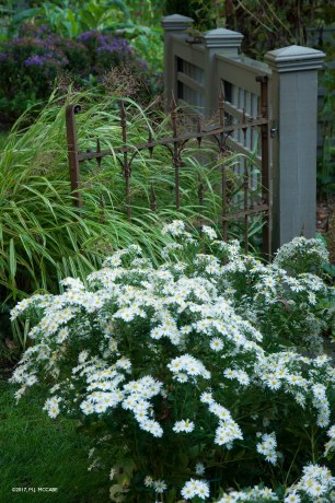 Aster ageratoides 'Ashvi'-- A pure white Asian aster--rigorous and fast spreading--would make a wonderful statement underplanted around trees in September--long blooming