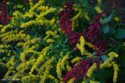Autumn gardens is all about vivid color and lots of contrast--Solidago and Salvia van houtii create a perfect marriage that continues for several weeks