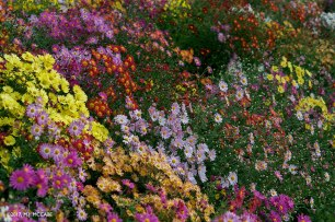 A mass planting of Belgium mums creates a majestic tapestry of color in October