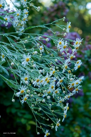 Boltonia-- 4' tall wand-like ivory flowers for early Autumn --perfect complement to purple salvia and joe pye weed