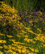 Late Summer color--Splashes of bright yellows mellowed out with purple verbena