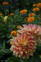 Peach colored Dahlias come into their own in early Fall-it makes the golden marigolds even more interesting