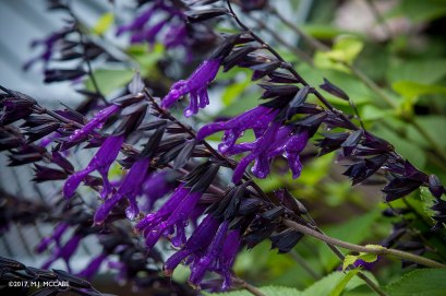 Salvia 'Amistad'--Hummingbirds adore this deep velvety purple salvia that blooms late August into November