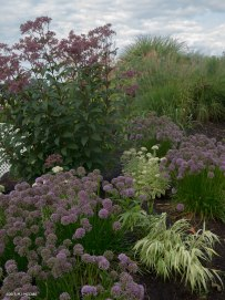 Tall Joe pye weed and ornamental grasses are the perfect backdrop for Allium millennium and golden-toned Hakonechloa grass