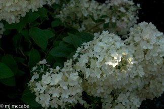 A late blooming dwarf hydrangea-the perfect addition to the smaller garden.