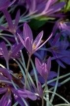 Colchicums appear magically in the October garden--a perfect complement to autumn mums and asters.