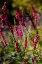 Persicaria 'Fire Tail'--blooms for several weeks --adding a nice vertical accent in the garden.
