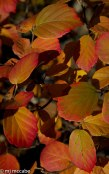 Fothergilla is an amazing shrub that turns into glorious color in the fall.
