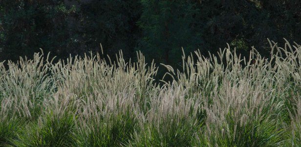 A mass planting of fountain grass brings a dynamic play to the fall garden.