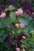 Peach colored lantana curls around Salvia van houtii to create a lovely autumn marriage.