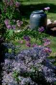 Late blooming asters add sparkle and pastel colors in the October garden.