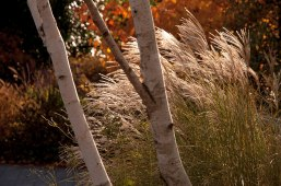 The plumes of the Miscanthus grass echo the beautiful trunks of the white birches.