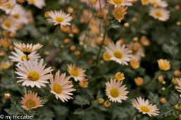 'Sheffield' Mum one of the last perennials to bloom in the October garden has lovely peach colored flowers.