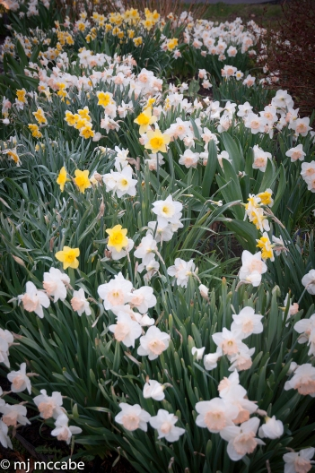 Daffodils will naturally multiply and rebloom every year--a great investment for every garden