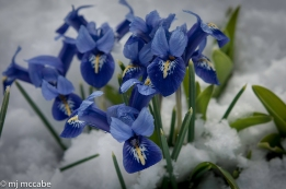 Iris reticulata blooms through snow in March--tiny orchid like flowers on slender stems