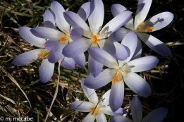 Massed crocuses planted in a lawn make a colorful sweeping statement and will multiply each year