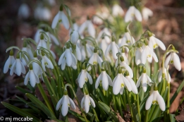 Snowdrops--the absolute purity of the first bloomers