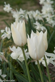 Tall lily flowering white tulips with long blooming 'Thalia' daffodil