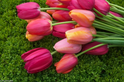 The French Tulip - Very tall and elegant-composed of 7 shades of rose
