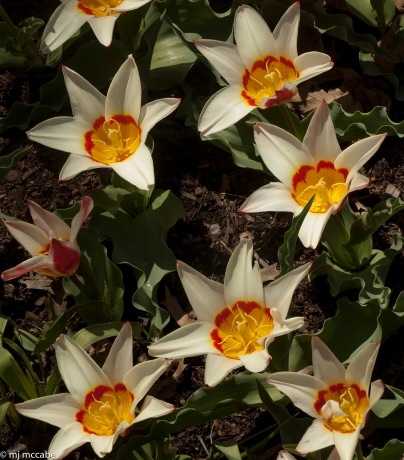 Tulip Kaufmanniana ' tulip kaufmanniana ' Tulip kaufmanniana 'Ancilla' - The waterlily tulip for early Spring